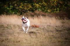 American bulldog running. American buldog with a wierd face royalty free stock photos