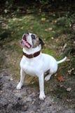 American bulldog sits Royalty Free Stock Image