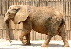 American Bull Elephant at the Memphis Zoo Royalty Free Stock Image