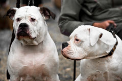 American bulldog Stock Photography