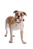 American bulldog Stock Image