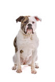 American bulldog Royalty Free Stock Photography