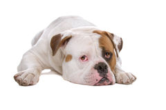 American bulldog Royalty Free Stock Image