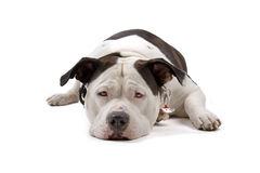 American bulldog Royalty Free Stock Photo
