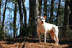 American Bulldog. Strong white American Bulldog is very focused stock images
