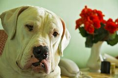 American Bulldog. Have very intelligent regard Stock Images