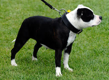 American bulldog royalty free stock image