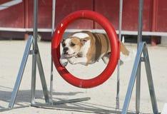 American bulldog in agility Stock Image