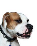 American Bulldog barking. One year old Full Breed American bulldog with brindle head on white background Stock Image