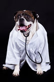 American bulldog on black background doctor dog concept phonendoscope. American bulldog on black background doctor royalty free stock image