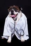 American bulldog on black background doctor dog concept phonendoscope Royalty Free Stock Image
