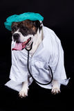 American bulldog on black background doctor dog concept phonendoscope. American bulldog on black background doctor medical staff medical examination domestic royalty free stock photo