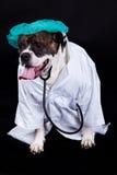 American bulldog on black background doctor dog concept phonendoscope Royalty Free Stock Photo