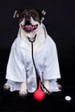 American bulldog on black background doctor dog. American bulldog on black background doctor medicine royalty free stock photo