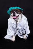 American bulldog on black background doctormedical staff concept Royalty Free Stock Image