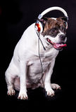 American bulldog on black background dog headset music fan Royalty Free Stock Photos