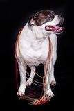 American bulldog on black background fashion dog Stock Image