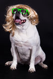American bulldog on black background glasses hair dog Royalty Free Stock Photography