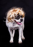 American bulldog on black background glasses hair Royalty Free Stock Images