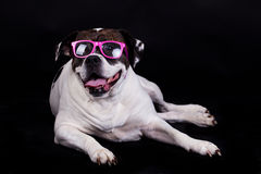 American bulldog on black background glasses hair Stock Photography