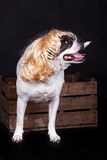 American bulldog on black background hairs dog and crate Royalty Free Stock Photos