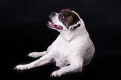 American bulldog on black background pet Stock Photo