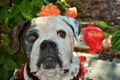 American Bulldog Bubba Royalty Free Stock Images
