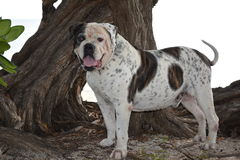 American Bulldog Bubba Stock Photo