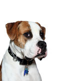 American Bulldog bust. One year old Full Breed American bulldog with brindle head on white background Stock Photo