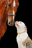American bulldog and chestnut horse, isolated on black Royalty Free Stock Photos