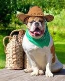 American bulldog in cowboy hat and handkerchief Royalty Free Stock Photos