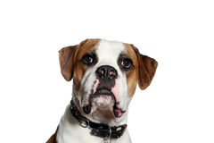 American Bulldog curious Stock Photography