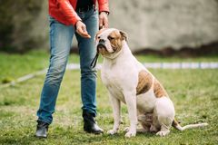 American Bulldog Dog Sitting Near Woman In Green Grass During. Male Red And White American Bulldog Dog Sitting Near Woman In Green Grass During Training Stock Images