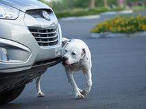 American Bulldog doing scent work. Large white bulldog searching a vehicle Stock Photos