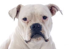 American bulldog Royalty Free Stock Photos