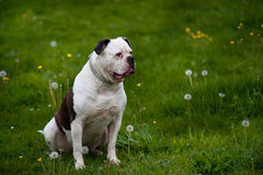 American bulldog on green spring meadow Stock Images