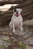 American Bulldog Kepler Stock Image