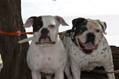 American Bulldog Kepler and Bubba Royalty Free Stock Images