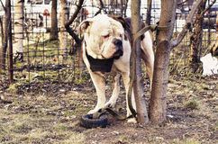 American bulldog on the leash. In the yard outside Stock Images