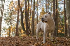 American Bulldog looking in the distance. Male American Bulldog shot in the forests of lower Austria royalty free stock images