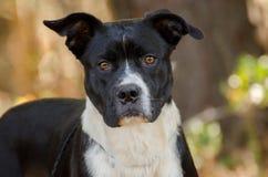 American Bulldog Mastiff mixed breed dog Royalty Free Stock Image