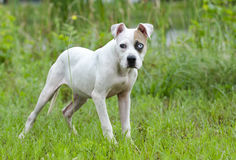 American Bulldog mixed breed puppy with blue eye. White and brown American Bulldog mixed breed puppy dog with blue eye. Outdoor pet photography for Walton County stock image