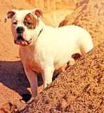 American bulldog outdoors Royalty Free Stock Photography