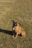 American bulldog outdoors Stock Photos