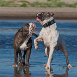 American Bulldog play fighting with a Old English  Stock Images