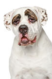 American Bulldog. Portrait on a white background Royalty Free Stock Photo