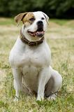 American bulldog - protection. Portrait of American bulldog  in a field Stock Image