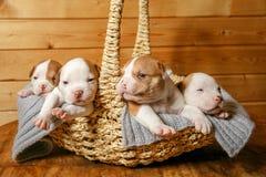 American Bulldog puppies sleep sweetly in a basket stock photo