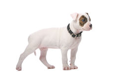 American bulldog puppy Stock Photography