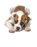 American bulldog puppy lying on the floor staring at the floor. With paws to the front isolated on a white background Royalty Free Stock Image